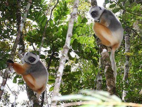 i-lemuri-dell-est